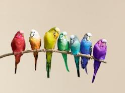 Parakeet rainbow: Colour, Rainbow Budgies, Color, Rainbows, Wallpower Wonders, Pet Birds, Beautiful Birds, Budgies Parakeet, Animal