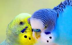 Parakeets named Eddie and Murphy both laid eggs guess we named them incorrectly.: Parakeets, Animals, Sweet, Budgies, Parrots, Color, Pet, Beautiful Birds