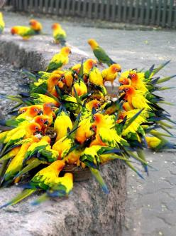 Parrot Party.  O. M. G. I'm in heaven just looking at these birds & wishing I was the center of their party haha!!!!: Animals, Nature, Parrots, Color, Creatures, Sun Conures, Beautiful Birds