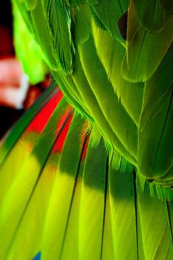 parrot wing feathers and tail feathers: Colour, Birds Colors, Green Feathers, Birds Parrots, Feathers Color, Lime, Parrot Wing