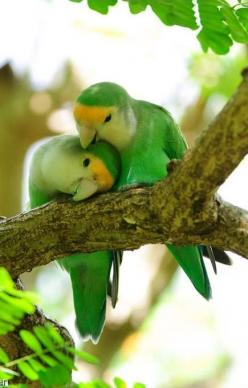 Peach-faced Love Birds, also known as the rosy-faced or rosy-collared lovebird (Agapornis roseicollis), is a species of lovebird native to arid regions in southwestern Africa such as the Namib Desert.  Lovely photo by Brad Pedersen: Animals, Sweet, Nature
