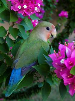 Peached Faced Love Bird with bouganvilla, by irinsmith :): Peachfaced, Animals, Peached Faced, Nature, Parrots, Pretty Birds, Beautiful Birds, Peach Faced Lovebird