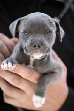 Pets for life: Animals, Dogs, Pet, Puppys, Puppy, Baby, Blue Pit