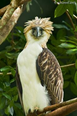 Philippine Eagle (Pithecophaga jefferyi) by neon2rosell, via Flickr: Birds Eagles World, Animals Birds, Beautiful Birds, Philippines, Philippine Eagle, Eagle Pithecophaga, Birds Hawks Eagles Etc
