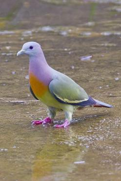 Pink-necked Green-pigeon Male BP_29012012_001 by Chong Lip Mun, via Flickr: Animals, Nature, Color, Green Pigeon, Pinknecked, Pink Necked Green, Beautiful Birds