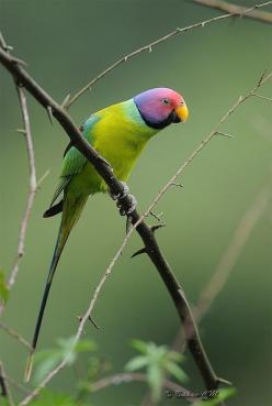 Plum headed parakeet.: Parakeets, Plum Headed Parakeet, Parrots, Beautiful Birds, Things, Plumheaded, Photo, Animal