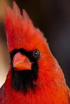 Portrait of a male Northern Cardinal... we have a family of cardinals nesting outside of the kitchen in an actual bird cage we were using as a planter. The babies just hatched and they are such good little parents!: Favorite Bird, Birds, Cardinals, Animal