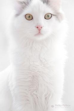 """Pretty kitty  (=^.^=) Thanks, Pinterest Pinners, for stopping by, viewing, re-pinning, & following my boards.  Have a beautiful day! ^..^ and """"Feel free to share on Pinterest ^..^   #catsandme #cats: Kitty Cats, Kitten, Animals, Beautiful Cats, White"""