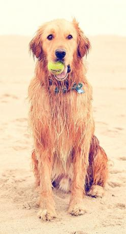 Reminds me of Ella, only downside with my dog is that she usually wakes me between 3:30-4:00 a.m. to play.: Wet Dog, Golden Retrievers, Beach Ball, Happy Dogs, The Beach, Friend, Animal