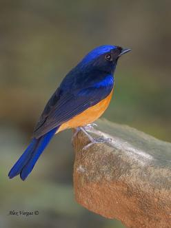 Rufous-bellied niltava, Niltava sundara, Hodgson, 1837, also known as the black-and-orange niltava or as the blue-and-orange niltava or orange-bellied niltava, also (appropriately) as the beautiful niltava, or as the Sundara/Sundra niltava, photographed a