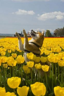 "shibas and tulips ♥  Great pic...of course all the Shiba owners will notice that he is leashed since they are totally ""unreliable off leash""  :-): Yellow Flowers, Akita, Animals, Pekoe Rampant, Shiba Inus, Beautiful Dogs, Cute Dogs"