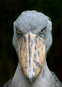 Shoebill also known as Whalehead or Shoe-billed Stork, is a very large stork-like bird. It derives its name from its massive shoe-shaped bill.  It lives in eastern Africa.  It is so strange looking!  It looks like a Muppet!  It can grow to almost 5 FEET t