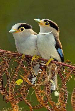 ..Silver-breasted Broadbill pair. (Female....with the necklace...of course)..It is found in Bangladesh, Bhutan, Cambodia, China, India, Indonesia, Laos, Malaysia, Myanmar, Nepal, Thailand, and Vietnam. Its natural habitats are subtropical or tropical mois