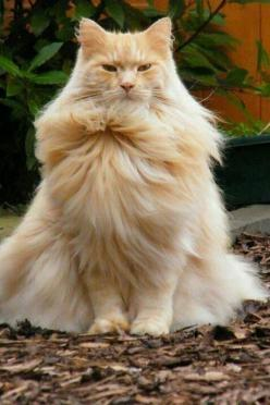Some cats where their crown on their head,,me, I prefer to wear it up front where those I meet can see it.: Kitty Cats, Beautiful Cat, Animals, Pet, Maine Coon, Funny, Crazy Cat, Feline, Cat Lady