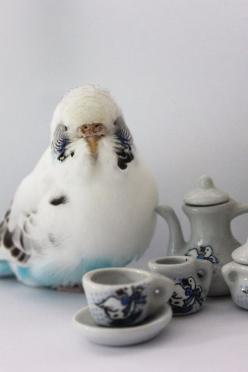 Source: itscoolwecanstillbefriends - http://www.itscoolwecanstillbefriends.tumblr.com: Animals, Sir Bird, Budgies Parakeet, Birds Budgies, Bird Budgie