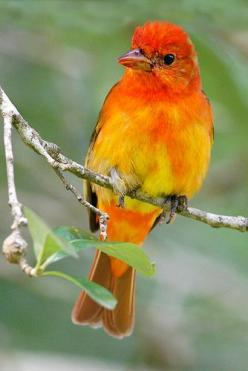Summer Tanager by Let there be light (Andy)*: Colorful Birds, Lights, Birds Tanagers, Light Andy, Animals Birds, Beautiful Birds