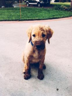 That makes them get away with things..   28 Pictures Of Golden Retriever Puppies That Will Brighten Your Day: Animals, Puppies, Dogs, Golden Retrievers, Pet, Muddy Puppy, Puppys, Friend