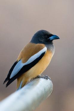 The 'Rufous Treepie' is a treepie, native to the Indian Subcontinent and adjoining parts of Southeast Asia. It is a member of the Corvidae family. It is long tailed and has loud musical calls making it very conspicuous.: Birdie, National Parks, In