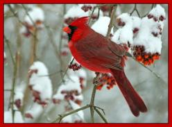 The cardinal bird gets its name from the fact that it has this bright red plumage, similar to the robes that catholic cardinals wear.: Male Cardinal, Cardinal Birds, Winter Wonderland, Beautiful Cardinal, Cardinals, Animal