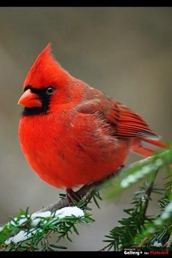 The Cardinal is the state bird in many states in the U.S.: Animals, Redbird, Beautiful Birds, Red Birds, Cardinals