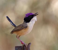 The Purple-crowned Fairywren (Malurus coronatus) is a species of bird in the Maluridae family. It is endemic to northern Australia.: Small Birds, Fairywren Malurus, Purple Crowned Fairy Wren, Beautiful Birds, Purple Crowned Fairywren, Animal