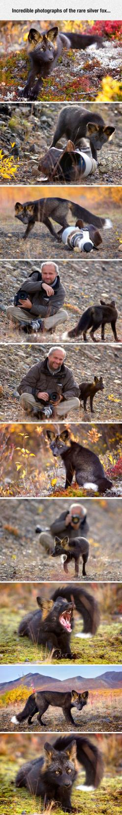 The silver fox is a melanistic form of red fox. Melanism is when the animal's coloring is much darker than normal. Interestingly, fox squirrels, who have brownish body fur and reddish tummy fur also have a melanistic form that resembles this. I had a