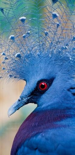 The Victoria Crowned Pigeon (Goura victoria) is a large, bluish-grey pigeon with elegant blue lace-like crests, maroon breast and red iris. It is part of a genus of three unique very large, ground-dwelling pigeons native to the New Guinea region.: Exotic