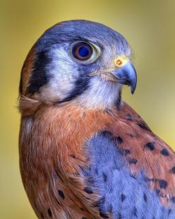 The wonderful colors of this bird - American Kestrel by Bob Jensen - sing a quiet song that would make a perfect scarf for a man or a tailored scarf, shawl, jacket or hat for a woman. I love this bird!: Animals, American Kestrel, Beautiful Colors, Birdie,