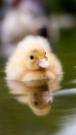 "thelordismylightandmysalvation: "" duckling_water_swim_baby_29398_640x1136 (by vadaka1986) "": Cute Ducklings, Baby Ducks, Awwww Kss, Baby Ducking, Adorable Duckling, Baby Ducklings, Animal"