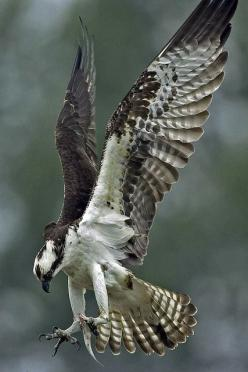thepredatorblog:  Osprey (by art126): Birds Raptors Osprey, Birds Eagles, Birds Osprey, Beautiful Birds