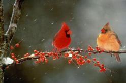 There is a cardinal pair that comes to my feeder every year.  I'm always so happy to see them.: Picture, Animals, Female Cardinal, Beautiful, Cardinals Birds, Couple, Winter Birds, Photo