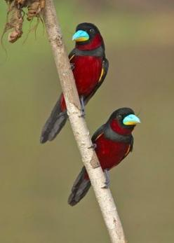 These breathtakingly beautiful birds are Black-and-Red Broadbills (Cymbirhynchus macrorhynchos). They have a black head, back, and tail feathers with crimson underparts. The bill is most striking, as it is a wonderful light turquoise on top with yellow un