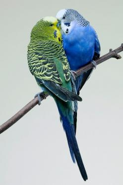 these two are the same colors as my 2 parakeets growing up. <3: Parakeets Parrots, Animals, Parakeets Budgies Parrots Etc, Parrots Birds, Parrots Parakeets, Pet Birds, Beautiful Birds, Budgies Parakeet, Budgies Birds