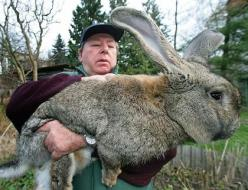 This farmer looks a bit overwhelmed...I can't tell if this is cute or terrifying. : Animals, Rabbits, Giant Rabbit, Pet, Funny, Things, Bunnies, Flemish Giant