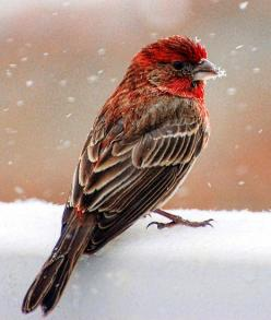 This House Finch is prettier than the ones in my back yard in SoCal.  Maybe the snow helps.: Snow Fall, Birds Finches, Backyard Bird, House Finch, Housefinch, Beautiful Birds, Animal