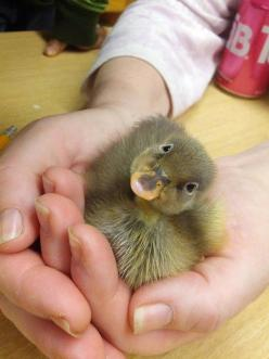 This quizzical duckling is adorable: Cute Ducklings Life, Baby Ducky, Baby Ducks, Cuteness Quota, 21 Ducklings, Creatures, Baby Animals, Ducks And Ducklings, Chicks Ducklings