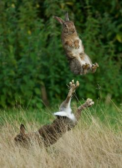 """Two rabbits in a field hopping around...""""Everybody Was Kung Fu Fighting"""" Music Video~http://www.youtube.com/watch?v=_0b96DDJzo4: Rabbit, Photos, Kungfu, Animals, Bunny, Kung Fu, Funny, Porsupah Ree, Bunnies"""