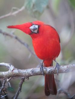 Vermilion cardinal(photo by felixus) He seems to be very curious about having his photo taken.: Cardinalis Phoenicius, Louis Cardinal, Redbird, Beautiful Birds, Red Birds, Vermilion Cardinal, Animal, Cardinals