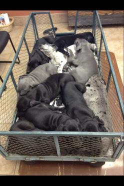 wagon full of great danes: Great Danes, Dane Puppies, Guys Win, 30 Cutest, Great Dane Puppy, Bold Napping, Cutest Buckets, Big Bold