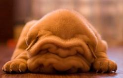 Why has this adorable puppy not been pin'd yet @Stacy Kaplan or @Janae Holmes! Don't you just want to pick him up and squeeze him!!: Wrinkle, Face, Animals, Dogs, Shar Pei, Pet, Sharpei, Puppys