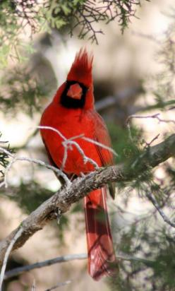 Winter Cardinal ღ Psalm 119:97 Oh, how I love your law! I meditate on it all day long.: Birdie, Beautiful Birds, Favorite Bird, Red Birds, Cardinals