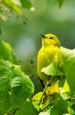 yellow warbler. Bright life! #birds #nature #animals: Nature, Green, Yellow Warbler, Beautiful Birds, Ave, Yellow Birds, Animal