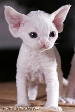 Британская короткошерстная кошка - #devonrex -Tops Tiny Cat Breeds at Catsincare.com!: Cats, Cornish Rex, Hairless Kitten, Hairless Cat, Devon Rex, Sphynx Cat, Kitty, Animal