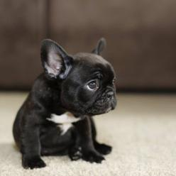 10 Dog Breeds That are Only For Rich Owners: French Bull Dog, French Bulldogs, Pet, Frenchbulldogs, Puppys, Baby, Frenchie, Animal