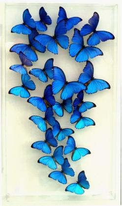 "18 x 32 x 3"" Deep Blue Morpho Display. ""Spectacular Morphos"": Spectacular Morphos, Blue Butterflies, Morpho Display, Blue Morpho Butterfly Art, Deep Blue, Blue Butterfly Tattoo"
