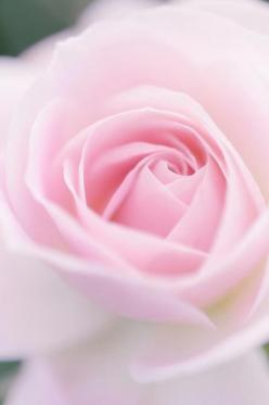 20 - The sweet scent of the pink roses we sniffed.: Pink Roses, Soft Pink, Beautiful Flowers, Flower Gardens, Baby Pink, Colorful Roses