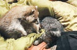 25 Cute Proofs that Animals are the Best Bros. #24 is so Adorable: Cats, Sweet, Google, Adorable Animals, Cat Gif, Pet, Raccoons, Gifs, Friend