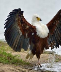 """Archangel eagle"" African Fish-Eagle. African Fish Eagles (Haliaeetus vocifer) are found throughout most of Sub-Saharan Africa. (Rated ""Least Concern"" (LC) on the IUCN Red List.): Animals, Archangel Eagle, Fish Eagles, African Fish Eagle,"