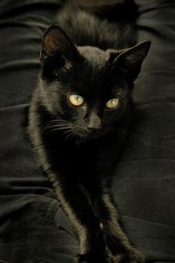 """Black Velvet"" by Nada Stankova ...........click here to find out more http://googydog.com: Animals, Chat Noir, Black Cats, Beautiful Black, Black Velvet, Blackcats, Kitty"