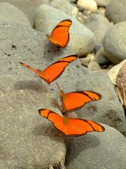 """Butterflies-On-The-Rocks."": Beautiful Butterflies, Orange Butterflies, Butterflies, Bug Butterfly Moth Caterpillar, Flowers, Insects"